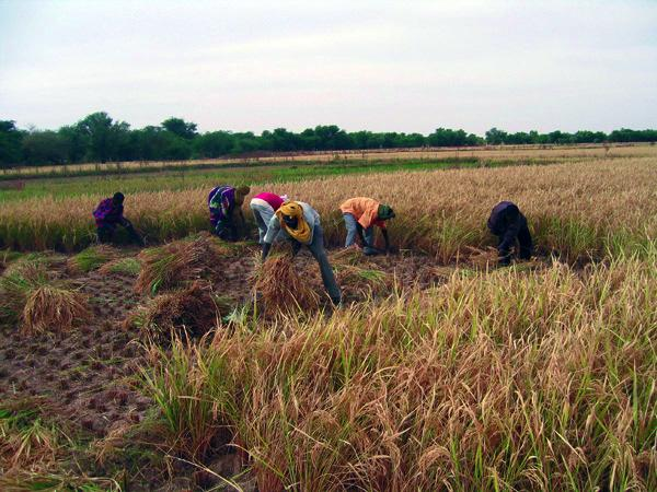 campagne-agricole-agriculture-champs-verge-riz-mil-paysans-cultivateur-office-niger