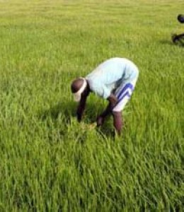 Agriculture ouest-africaine: il faudra s'intégrer ou mourir (Rapport)